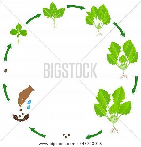 Life Cycle Of A Kohlrabi Plant On A White Background.