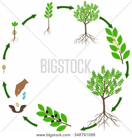 Life Cycle Of A Laurel Plant On A White Background.