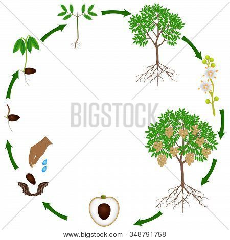 Life Cycle Of A Longan Plant On A White Background.