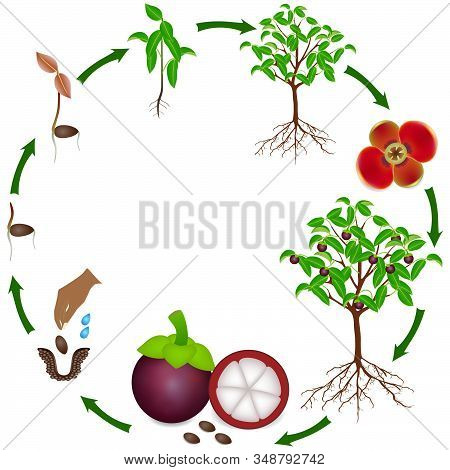 Life Cycle Of A Mangosteen Plant On A White Background.