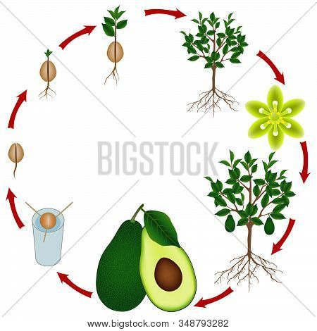 Life Cycle Of An Avocado Tree On A White Background.