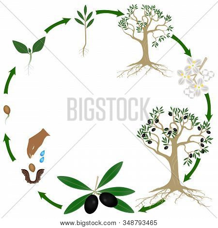 Life Cycle Of A Olives Plant On A White Background.