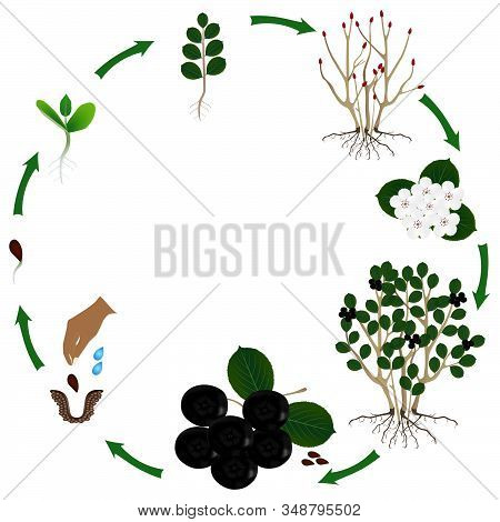 Life Cycle Of A Plant Plant Of A Bush Black Chokeberry (aronia Melanocarpa) On A White Background.