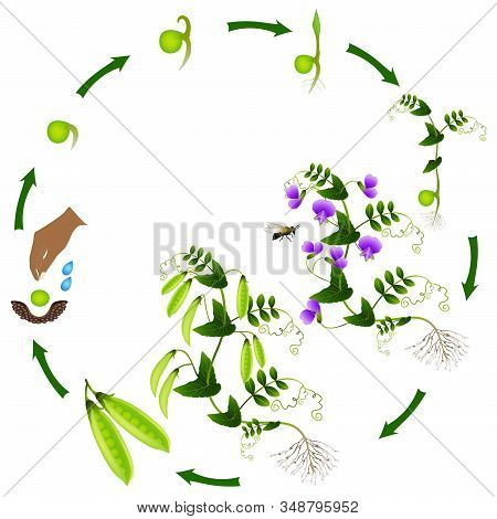 The Life Cycle Of A Pea Plant Is Isolated On A White Background.