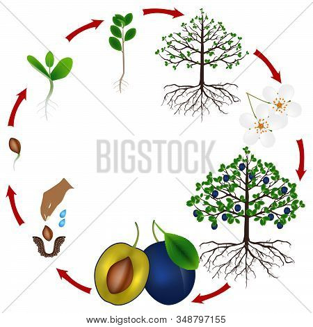 Life Cycle Of A Plum Tree On A White Background.