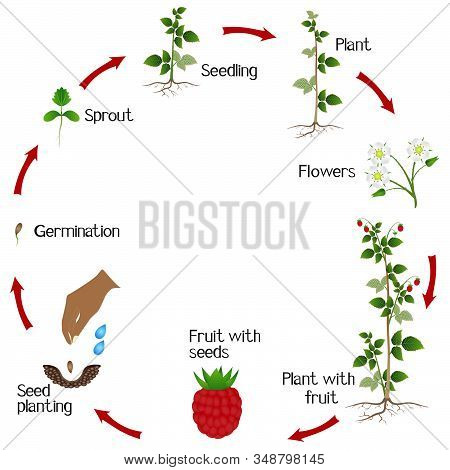 Life Cycle Of A Raspberry Plant On A White Background.