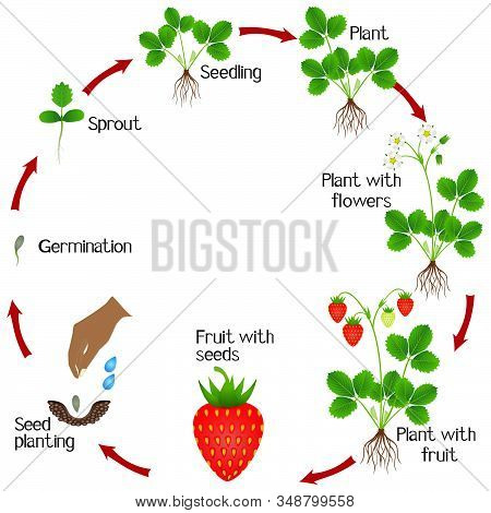 Life Cycle Of A Strawberry Plant On A White Background.