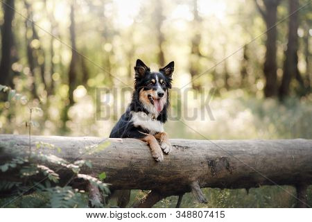 Portrait Of A Dog In Nature. Pet For A Walk. Three-color Border Collie Put His Paws On A Log