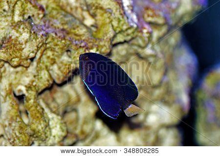 Pygmy Yellowtail Dwarf Angelfish - (centropyge Flavicauda)