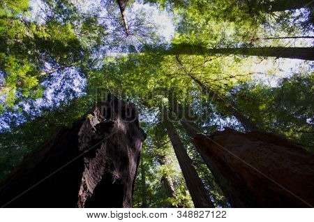 Redwood Tree Sky View. Looking Up At Tops Of Redwood Trees.  Green Leaf Canopy With Sunny Sky.  Redw