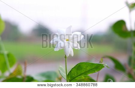 Beautiful Flower In The Garden: Confederate Jasmine, Southern Jasmine, Star Jasmine, Confederate Jes