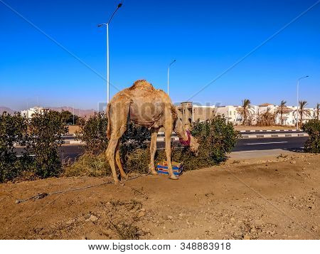 Escaped Camel With A Rope On His Leg Against The Background Of The Tropical City Of Sharm El Sheikh