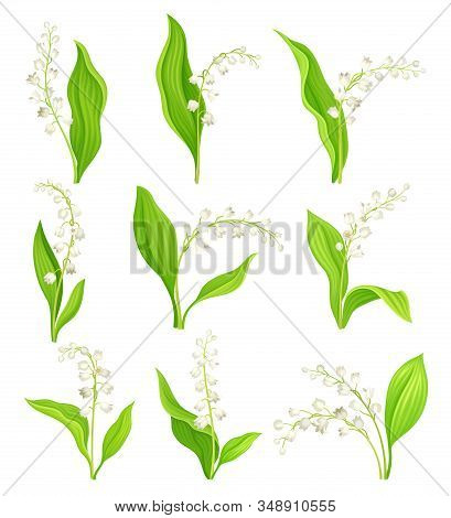 Lily Of The Valley With Oblong Leaves And Flowers Vector Set