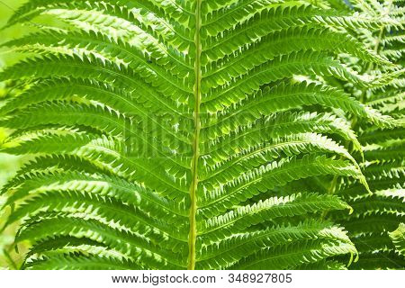 Ferns Leaves Green Foliage Natural Floral Fern Background. Beautiful Ferns Natural Floral Fern Backg