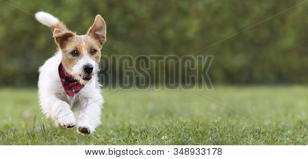 Pet Obedience, Training Concept, Funny Happy Dog Puppy Running In The Green Grass And Listening With