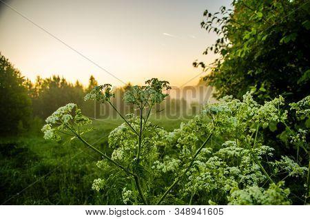Early Summer Morning. Yarrow In The Fog