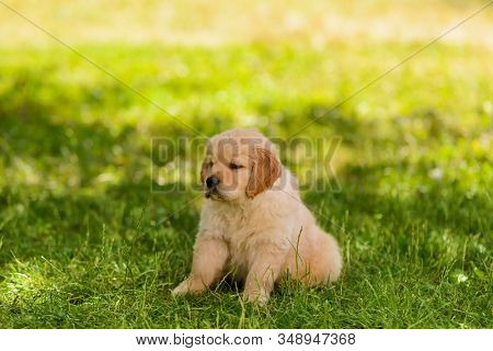 Portrait Of A Beautiful Golden Retriever Pup Sitting On The Lawn