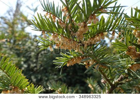 Florescence Of Bush Of European Yew In April