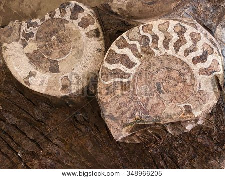 Ammonite Fossils, Extinct Marine Mollusc Animals, Found In Sahara Desert, Morocco