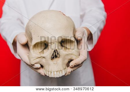Hands Of A Doctor In Gloves Closeup Hold A Skull On A Red Background. Anthropologist. Pathologist Me