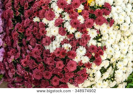 Beautiful White And Pink Chrysanthemums As A Background Picture. Wallpaper With Chrysanthemums, Chry