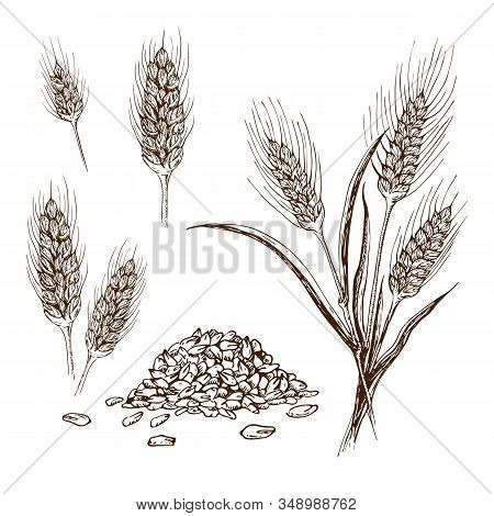Vector Hand Drawn Wheat Or Barley Isolated On White Background. Wheat Collection In Engraved Vintage
