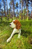Beagle on a grass in forest . Wide angle. The polarising filter is used. poster