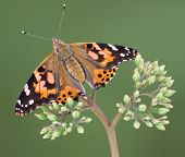 A painted lady butterfly is sitting on a budding plant. poster