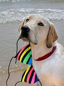 Labrador retriever with striped bikini top in his mouth. poster