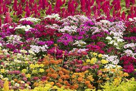 Many Color Gerbera Flowers In Garden , Thailand