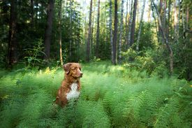 Dog In Nature. Nova Scotia Duck Tolling Retriever In Nature. Walk With A Pet. Toller Outside