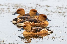 Fulvous Whistling Ducks In A Swamp In Florida.