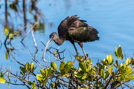 A Glossy Ibis Eating A Frog In A Saltwater Marsh