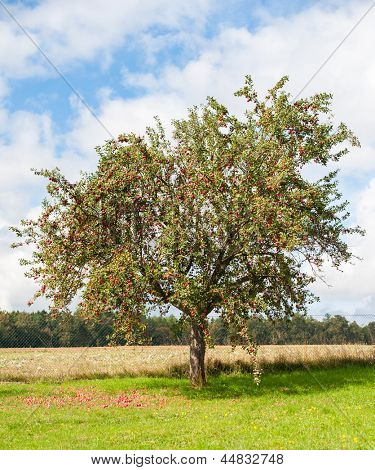 Apple tree is full of red ripe apples. Many of the fruits are lying under the tree already.