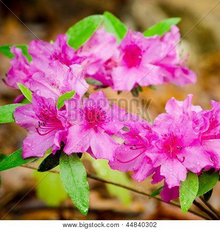 Pink azaleas blooming in spring