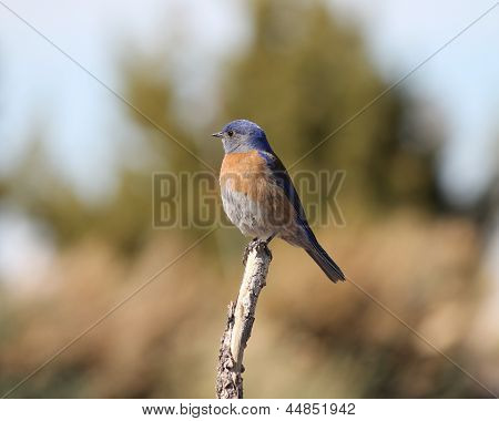 Eastern Bluerbird (Sialia sialis fulva) - the south-western subspecies