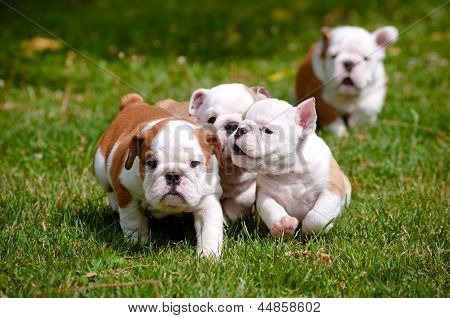 english bulldog puppies playing