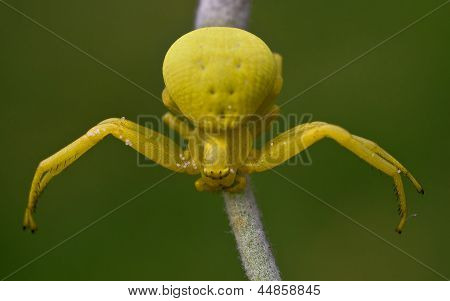 Yellow Spider On A Green Grass. Misumena Vatia