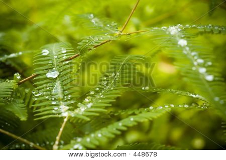 Dew On Fern