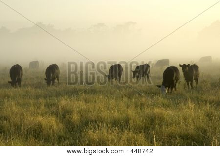 cattle grazing on a misty morning poster