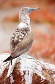 Close up of blue footed booby at Galapagos island of  North Seymour poster