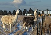 Two llamas spending winter in in Denver Colorado January 2009 poster