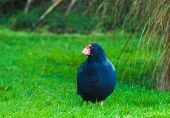 Takahe, (porphyrio hochstetteri) a rare native bird of New Zealand once thought to be extinct, scratching around for food poster