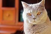 Lilac British Cat With Orange Eyes