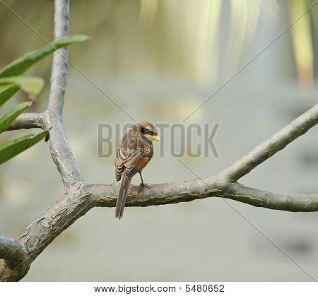 Yellow-billed Shrike Coy