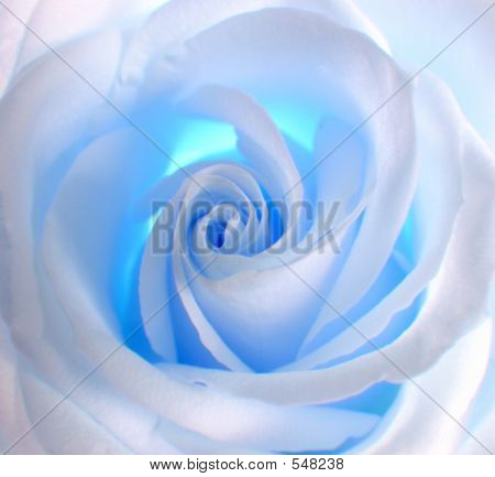 White - Blue Rose