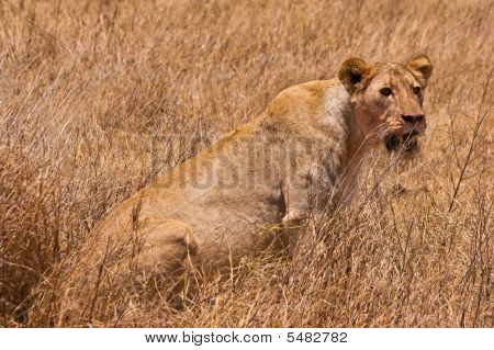 Female lion sitting in the dry yellow grass poster