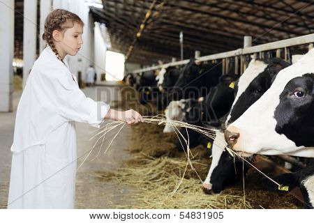 Cute little girl in white robe gives hay to cows at large farm. Focus on hand.