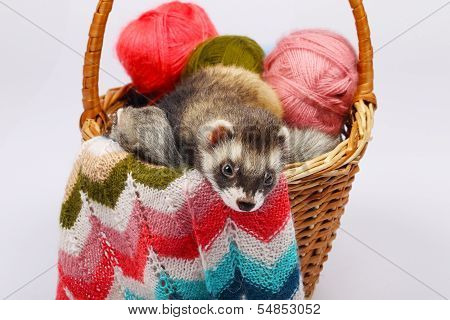 Two sable ferrets lying  in the basket with colorful balls of yarn poster