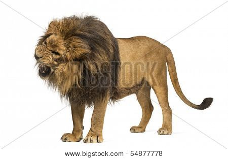 Lion standing, roaring, Panthera Leo, 10 years old, isolated on white